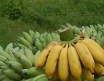 香蕉常见种类图片名称