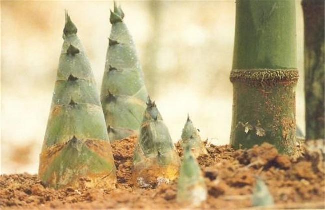竹笋种植效益