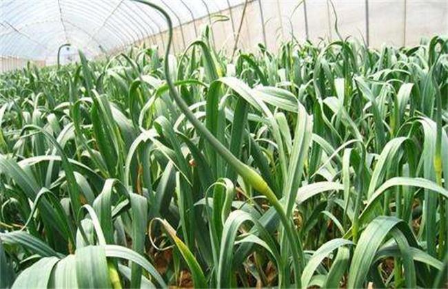 蒜苗种植效益