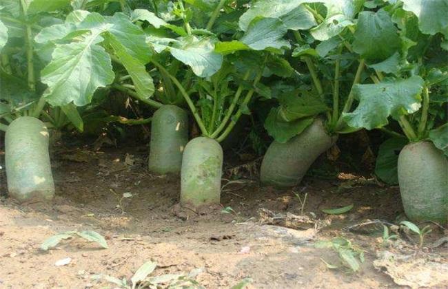 萝卜种植效益