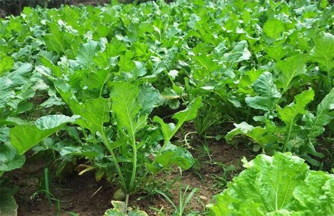 萝卜 种植 效益