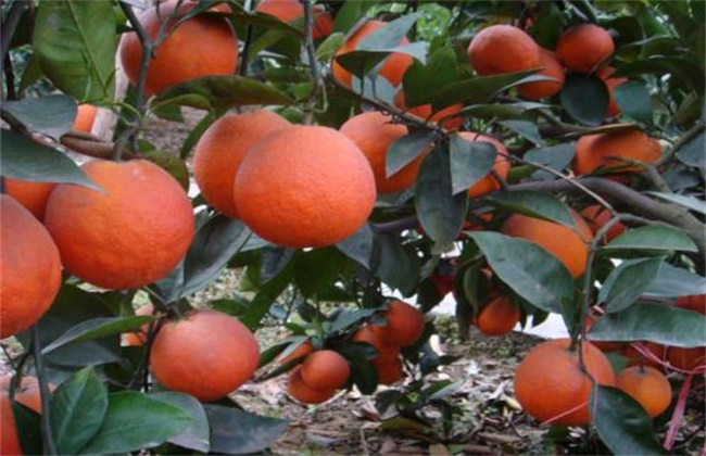 橙子种类及图片大全