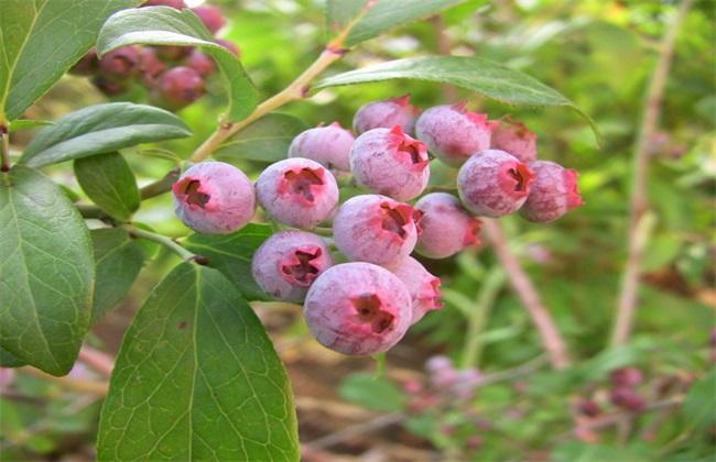 蓝莓常见品种