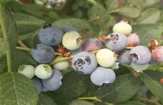 蓝莓 常见 品种