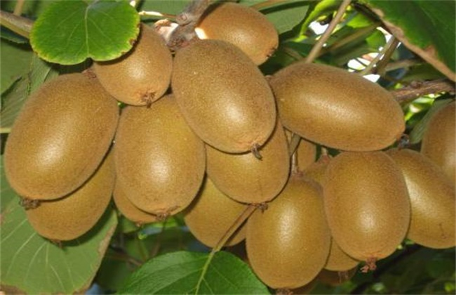 猕猴桃种类介绍及图片大全