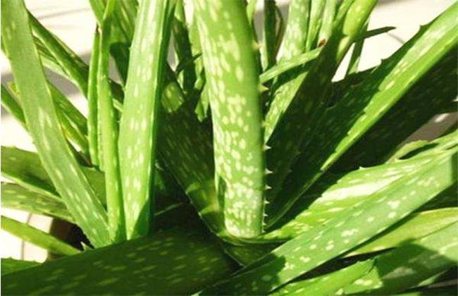 芦荟 常见品种 图片