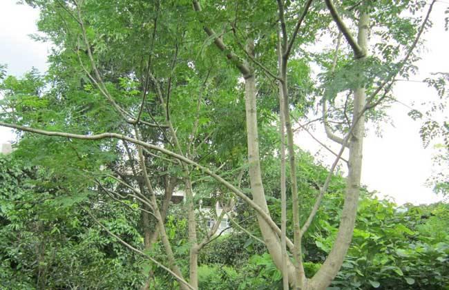 辣木 种植效益 分析