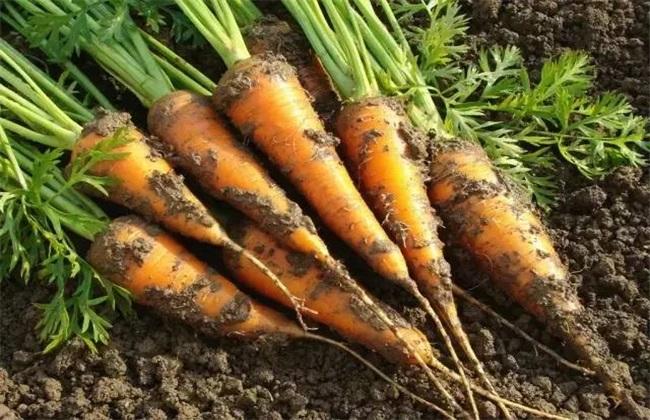 胡萝卜种植效益分析