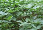 毛豆种植效益如何