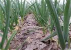 大蒜种植效益