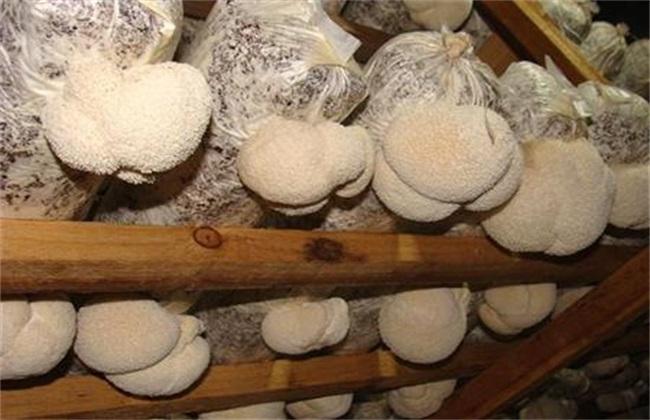 猴头菇种植效益
