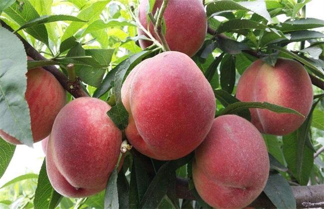 桃子常见种类及图片