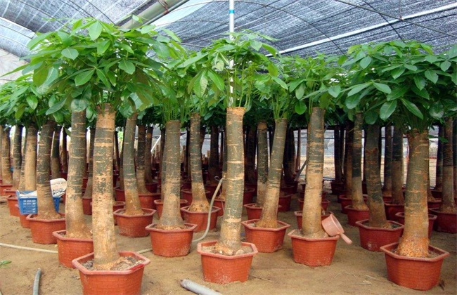 发财树 养殖方法 注意事项