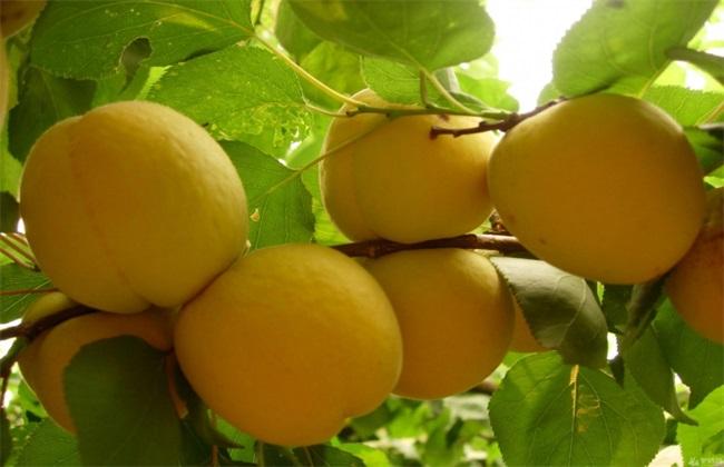 黄桃的施肥技术