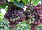 葡萄如何施肥