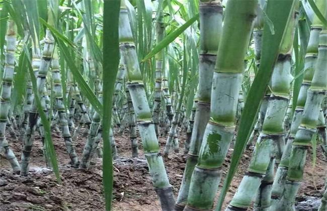 甘蔗常见品种及图片