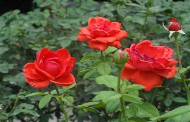 月季和玫瑰区别