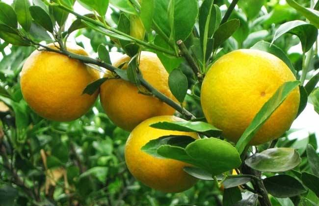柑橘价格多少钱一斤