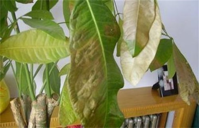 发财树 叶子发黄 怎么办