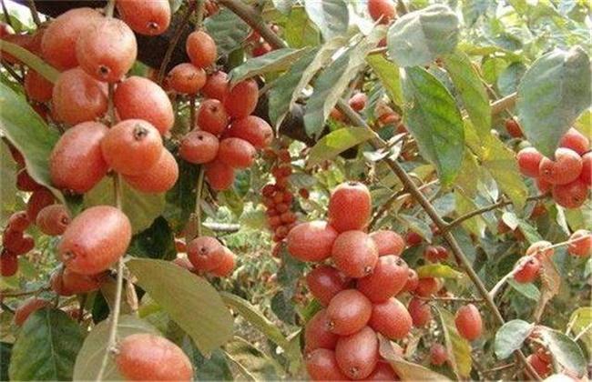 羊奶果种植条件