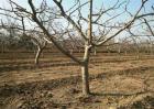 果树大小年现象防治措施