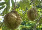 榴莲价格多少钱一斤