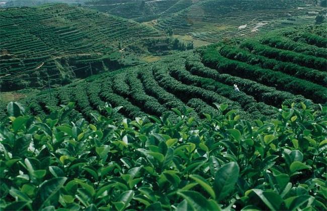 茶叶种植的注意事项