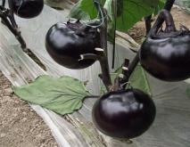 茄子的常见种类及图片