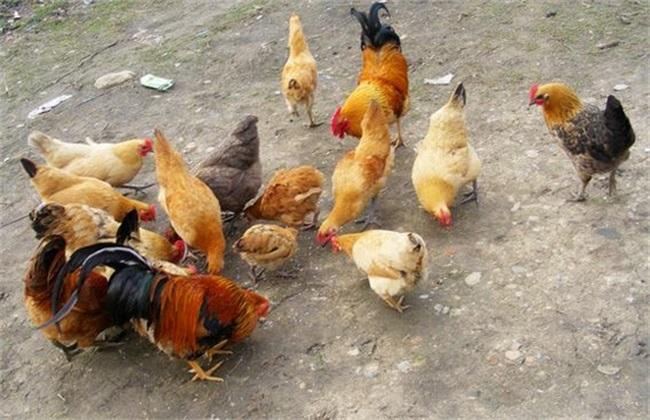 自配 鸡饲料 注意事项