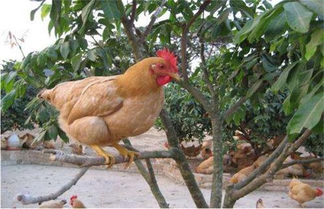 三黄鸡多少钱一斤