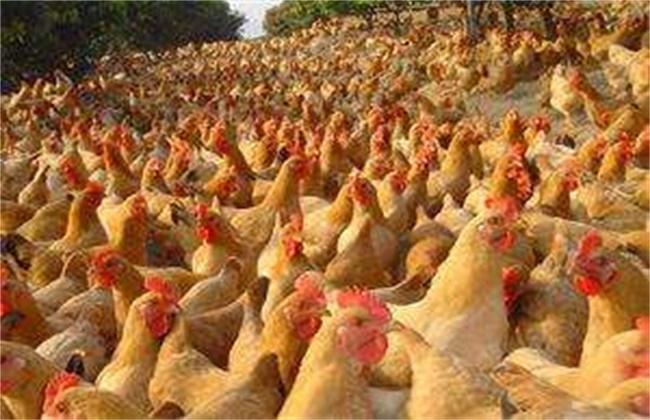 三黄鸡怎么养殖