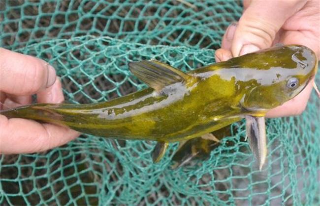 黄颡鱼价格多少钱一斤