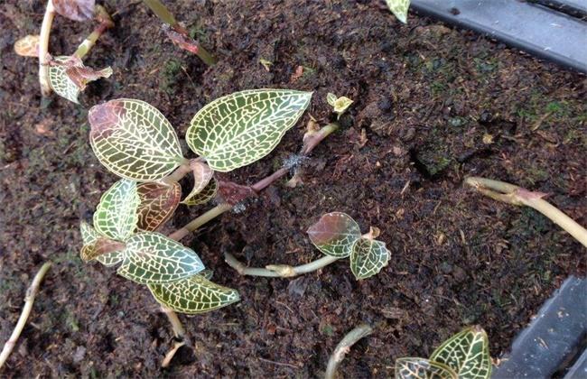 金线莲种植环境要求