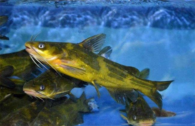 黄颡鱼养殖注意事项
