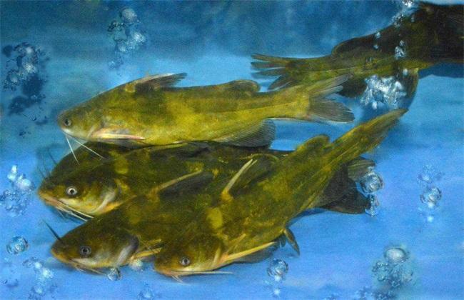 黄颡鱼 养殖 注意事项
