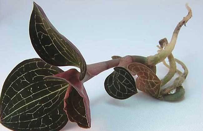 金线莲的繁殖方法