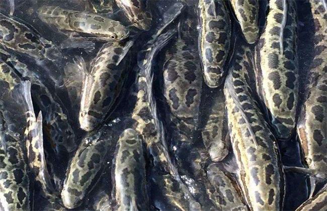 黑鱼 价格 多少钱一斤