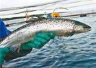 三文鱼价格多少钱一斤