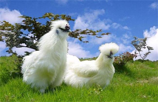 乌鸡多少钱一斤