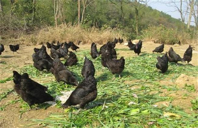 养绿壳蛋鸡赚钱吗