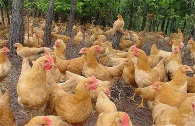 三黄鸡养殖赚钱吗
