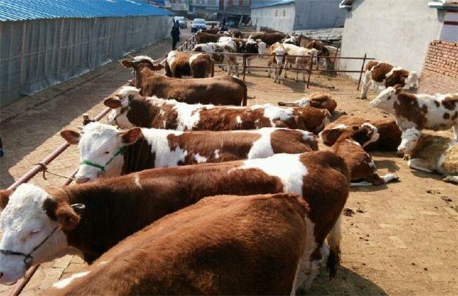 育肥牛 饲养管理 技术