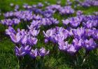 藏红花种植前景分析