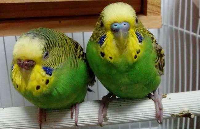 虎皮鹦鹉 繁殖 注意事项