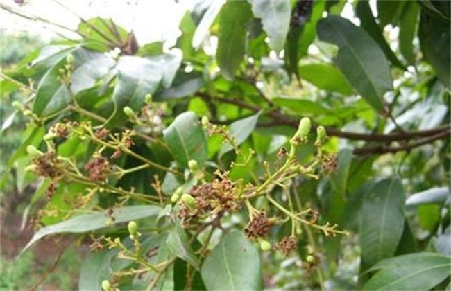 荔枝种植如何预防冻害