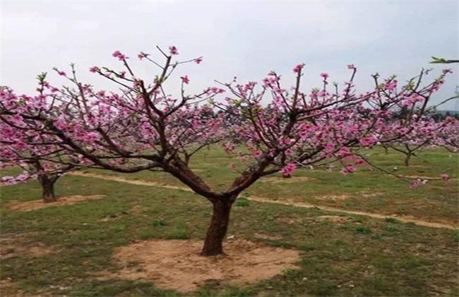桃树疏花疏果技术