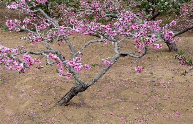 桃树 疏花疏果 技术