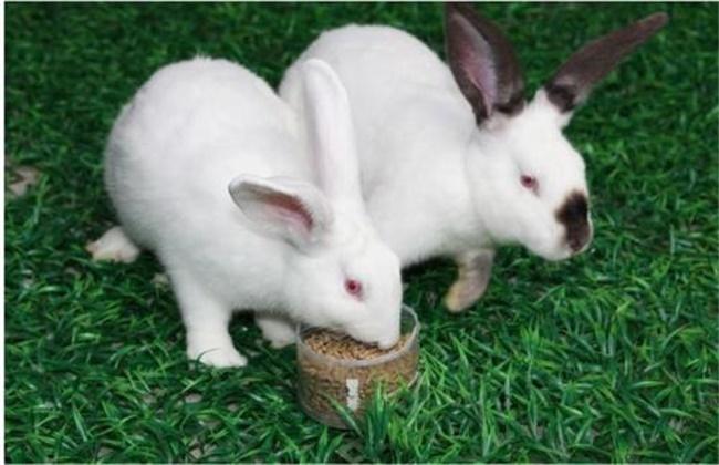 獭兔品种介绍及图片