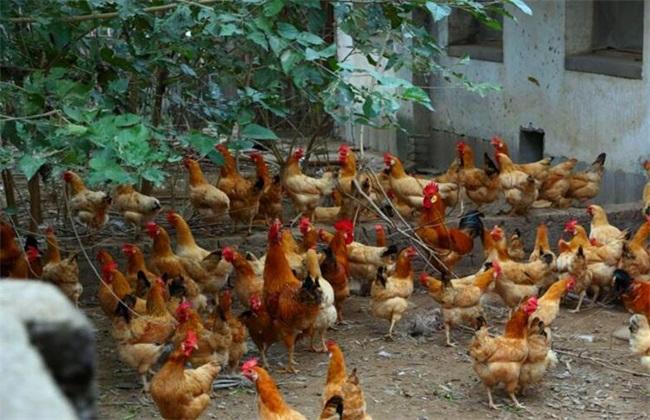 土鸡 养殖效益 分析