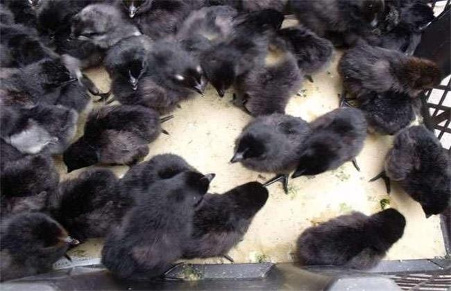 五黑鸡苗多少钱一只